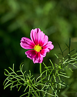 Pink Cosmos wildflower (?). Backyard spring nature in New Jersey. Image taken with a Fuji X-T2 camera and 60 mm f/2.4 macro lens (ISO 200, 60 mm, f/2.84, 1/3000 sec).