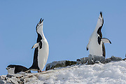 A pair of Chinstrap penguins (Pygoscelis antarctica)  with flippers outstretched stretch up to the sky and bray, Half Moon Bay, Half Moon Island, Antarctica.