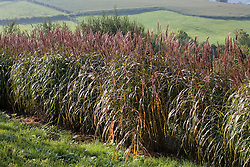 Miscanthus sinensis 'Malepartus' grown as a hedge with countryside beyond