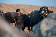 A young marsh Arab boy looks after his family's herd of water buffalo in the Hammar marsh of southern Iraq. They have a herd of around 15, many are thin and they have lost several to malnutrition and disease. Traditionally the buffalo would leave at sun rise to feed in the marshes and return at sunset, now its common to see them return before midday unfed