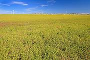 Lentils. Red<br /> Rosenhof<br /> Saskatchewan<br /> Canada
