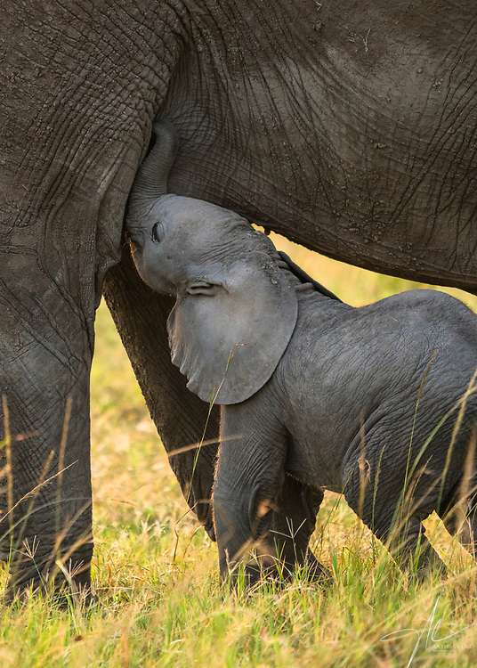 An elephant calf in Maasai Mara was trying to get his share of milk from his mother.