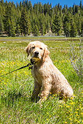 """""""Puppy in Sagehen Meadows 4"""" - Photograph of Golden Retriever puppy """"Quill"""" in the wildflowers at Sagehen Meadows, a little north of Truckee, California."""