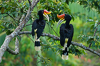 Rhinoceros Hornbill (Buceros rhinoceros)<br /> Pair perched in canopy, appearing to look at eachother.<br /> <br /> Halabala Wildlife Sanctuary<br /> Narathiwat Province, Thailand