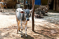 Brahma calf tied up, India. Fine art photography prints, stock images