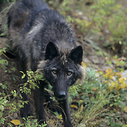 Gray Wolf adult in the Rocky Mountains. Captive Animal