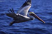 Pelican, Cabo San Lucas, Baja California, Mexico<br />