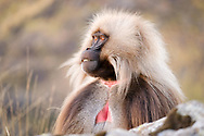 The Gelada monkey lives only in the high mountain grasslands, between 1400 and 4400 meters high in Ethiopia.<br /> This baboon can weigh between  20-30 kg. Both males and females have a reddish breast that looks like an inverted heart.<br /> This species has a 14-year life expectancy, a reproductive cycle of just over a month and a six-month gestation.<br /> Unlike most primates, Gelada is exclusively terrestrial. It is a diurnal animal that lives in groups composed of a male leader, some females and other males known as followers. These flocks generally consist of 300 specimens.