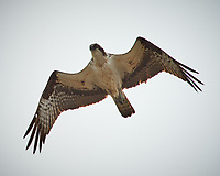 Osprey in flight. Carmel Beach, Pacific Coast Highway. Image taken with a Nikon D3 camera and 80-400 mm VR lens.