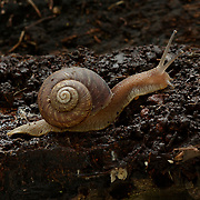 Land Snail, Humboldtiana sp. Arroyo La Presita, Mesa Tres Rios, Sonora, Mexico. Photographed under controlled conditions during a Madrean Discovery Expedition (MDE) for Greatergood.org
