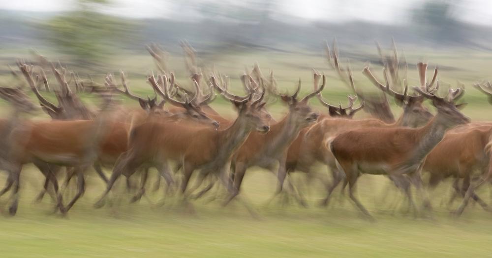 Red deer (Cervus elaphus) stags running.  Oostvaardersplassen, Netherlands. Mission: Oostervaardersplassen, Netherland, June 2009.
