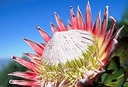 King Protea, Hawaii, USA<br />