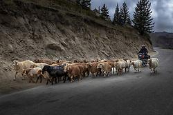 October 10, 2018 - Aletai, Aletai, China - Aletai,CHINA-Herdsmen pasture sheep and cattle in Aletai, northwest China's Xinjiang Uygur Autonomous Region. (Credit Image: © SIPA Asia via ZUMA Wire)