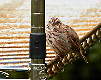 Song Sparrow. Image taken with a Nikon 1 V3 camera and 70-300 mm VR lens.