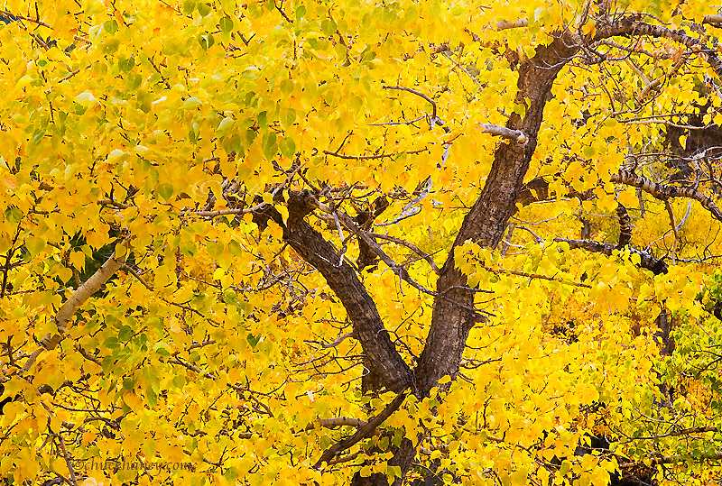 Cottonwood tree in peak fall colors in Glacier National Park in Montana