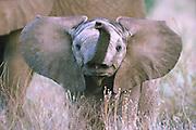 Young elephant sniffs for danger, Samburu National Reserve, Kenya