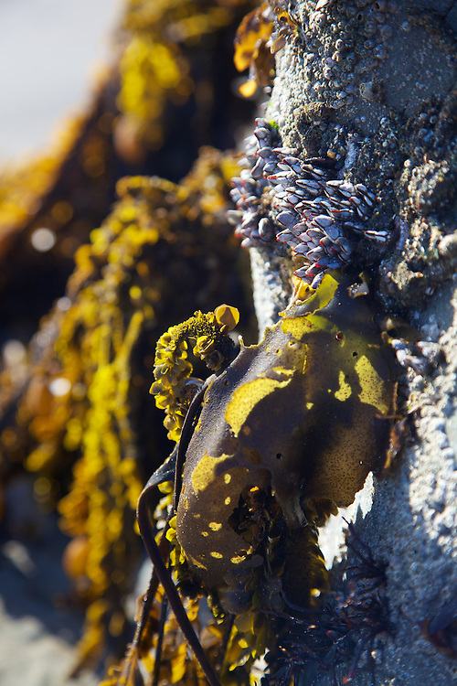 seaweed clinging to rock during a super low tide at muir beach, california