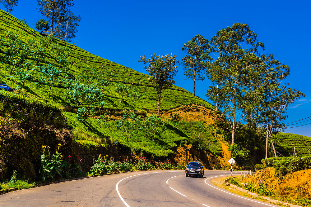 Tea gardens, Nuwara Eliya, Central Province, Sri Lanka.