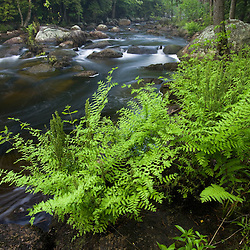 Royal ferns, Osmunda regalis, grow on the bank of the Ashuelot River near its source in Washington, New Hampshire.