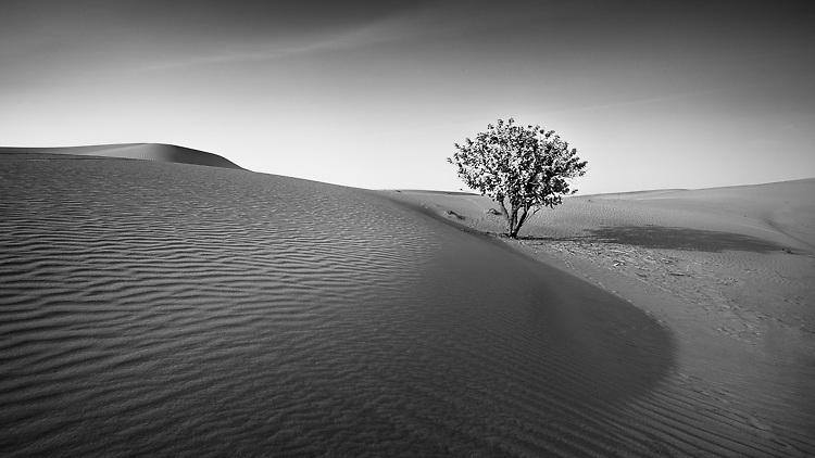 Tree in the Desert - United Arab Emirates, 2014