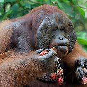 Orang-utan (Pongo pygmaeus) large male at feeding station gorging on Lychee fruits.  Tanjung Puting National Park. Borneo