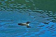 Common loon (Gavia immer)<br />Stewart-Cassiar Highway<br />British Columbia<br />Canada