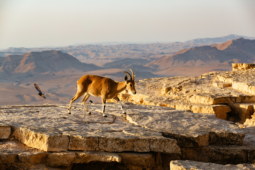 Female Nubian Ibex is seen near the edge of the Ramon Crater (Makhtesh Ramon in Hebrew), the world's largest erosion crater in the Negev desert, southern Israel, on October 19, 2017.