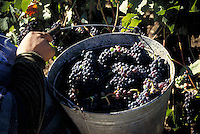 Pinot Noir grapes being harvested in Anderson Valley, California
