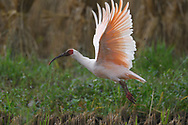 Crested ibis bird, Nipponia nippon, earlier believed extinct, but now coming back. It is flying at the Yangxian Nature Reserve, Shaanxi, China