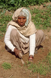 Woman crouching in field collecting seedlings,