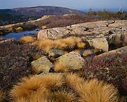 Autumn colors of the sedge, deer grass, Scirpus cespitosus var. callosus, granite pools on the summit of Cadillac Mountain, Mount Desert Island, Acadia National Park, Maine.