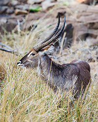 Waterbuck at Sabi Sands Game Preserve in South Africa.
