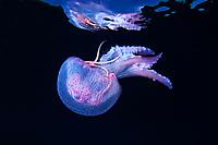10/Enero/2015 Islas Baleares., Ibiza.<br /> Medusa (Pelagia noctiluca) en Agujeros Azules.<br /> <br /> © JOAN COSTA