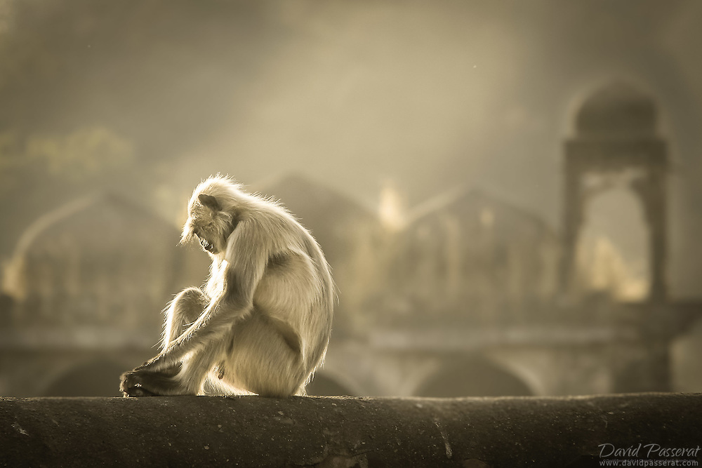 Description/Caption:<br /> On the contrary of the human habitants that left in ruins the anitque city within the fort of Ranthambore national park, this monkey and others have surrounded the place and are now the guardiens of a lost flamboyant civilisation.