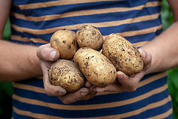 Hands holding harvested potatoes