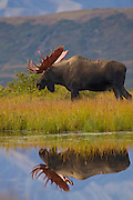Denali National Park, Alaska. A bull moose (Alces alces gigas) in late spring with a full rack of antlers is reflected in a tundra pond, where many moose feed on the tender aquatic grasses that grow within.