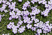 "Spreading phlox / Phlox diffusa flowers bloom on Whistler Mountain, Coast Range, British Columbia, Canada. Phlox (pronounced ""flocks,"" from the Greek word for ""flame"") is a genus of perennial and annual plants in the family Polemoniaceae. Phlox are found mostly in North America (one species in Siberia) in diverse habitats from alpine tundra to open woodland and prairie."
