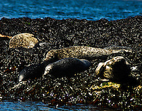"A seal colony close to Oban, a city on the west coast of Scotland known as ""Scotland's seafood capital"""