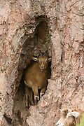 Young feral goat sheltering from the rain in a rock crevice, near the Falls of Shin.