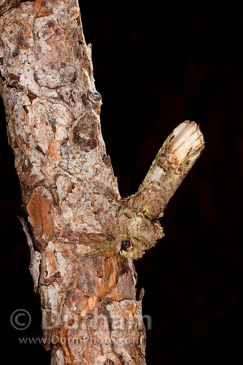 A night moth (Noctuoidea) camouflaged as a twig on a tree in Central Texas.