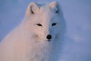 Arctic Fox, Alopex lagopus, Ellesmere Island, Canada