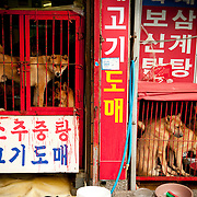 """Dogs wait to be butchered for their meat in Busan, South Korea. August 13 is one of three """"boknal"""", considered the hottest days of the year, a day when eating dog meat is considered by some to have a cooling effect on the body. Though the practice continues, many South Koreans are opposed to eating dog."""