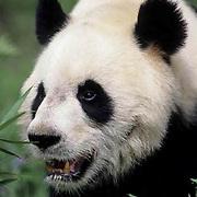 Giant Panda, (Ailuropoda melanoleuca) Portrait. Wolong Natural Reserve. Sichuan, China.   Captive Animal.