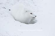 01863-01712 Arctic Fox (Alopex lagopus) at food cache, Cape Churchill, Wapusk National Park, Churchill, MB Canada