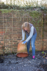 Forcing rhubarb with a terracotta forcer