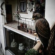 Predatory bird in Arcumeggia