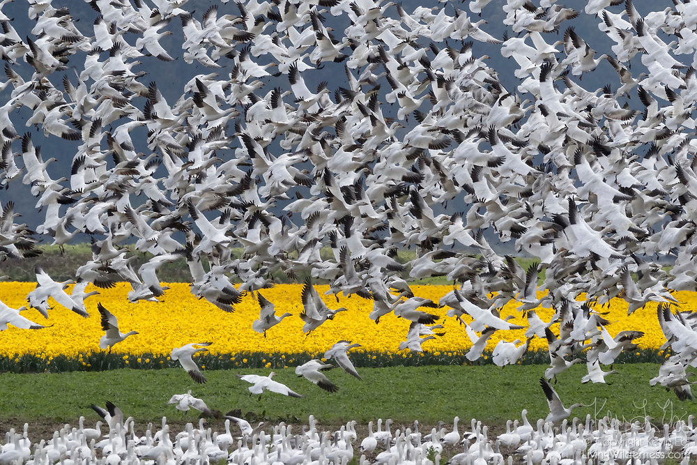 A large flock of snow geese (Chen caerulescens) erupts from a field of daffodils in La Conner, Washington.