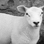 Stare Down Lamb - Avebury, UK - Black & White