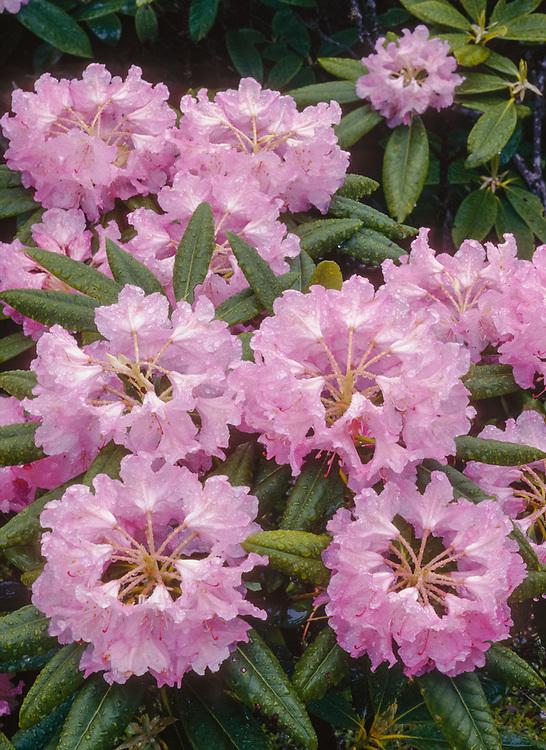 Wild rhododendron (Rhododendron macrophyllum), State Flower of Washington, Paicific Northwest, USA