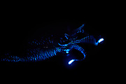 Bioluminescent Firefly Squid (Watasenia scintillans) ( ほたるいか , hotaru-ika ) emits intense flashes of light from three tiny luminous organs (photophores) that are located at the tip of each of a pair of ventral arms. Light is also produced from hundreds of other minute organs that are scattered over the body. It is thought to be used for Counter-illumination as a method of active camouflage and they can be used to communicate with potential mates or rivals. The Firefly Squid, is only 8 cm and the luminescence of their tentacles light up like glow sticks during mating season or do to prey defence. In Toyama Bay, in the central Japan Sea, the squid are found in abundance. Normally living at 400m underwater. Toyama Bay lies above a deep, v-shaped canyon in which the sea floor drops away suddenly. The flow of the ocean currents usually wells up from the bottom of this canyon and pushes the squid to the surface. Occasionally the squid can be found washed up on the shore in large numbers. Toyama Bay, Japan | Der Leuchtkalmar (Watasenia scintillans) besitzt drei kleine Leuchtorgane (Photophoren), die sich an der Spitze eines jeden ventralen Armes befinden und biolumineszieren können. Weitere kleine Leuchtorgane befinden sich über den Körper verteilt, aber hauptsächlich auf der unterseite des Tieres. Es wird vermutet, dass sie dazu dienen den Schattenwurf (Counter-illumination) gegen die Oberfläche zu vermindern. Aber sie werden sicherlich auch zur komunikation von Tieren untereinander verwendet. Toyama Bucht, Japan